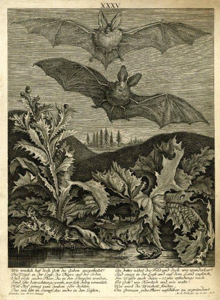 Dos murciélagos orejudos (Vespertilio auritus. Linn.), estampa XXXV. Aguafuerte y grabado por Martin Elias Ridinger.
